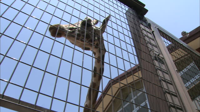 a giraffe moves its head up and down as it sniffs at its cage. - gabbia video stock e b–roll
