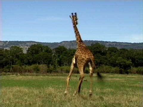 giraffe moving - artbeats stock videos & royalty-free footage