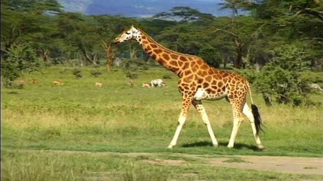 Giraffe Nakuru Safari Park
