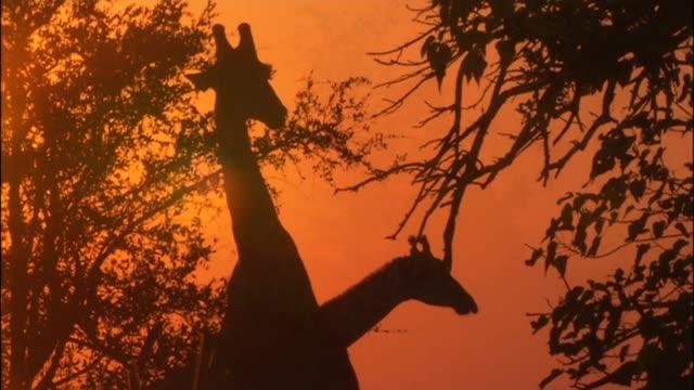 giraffe numbers have dropped 40 percent in 30 years; r17061016 / bostwana: okavango delta: ext / dusk various shots giraffes eating from trees as... - オカバンゴデルタ点の映像素材/bロール