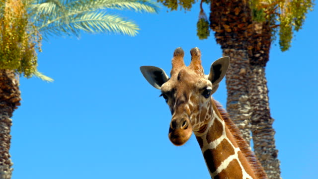 giraffe on sky and palms background - herbivorous stock videos & royalty-free footage