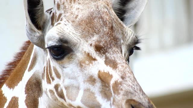 stockvideo's en b-roll-footage met giraffe portret hoofd en ogen op zoek camera - lengte