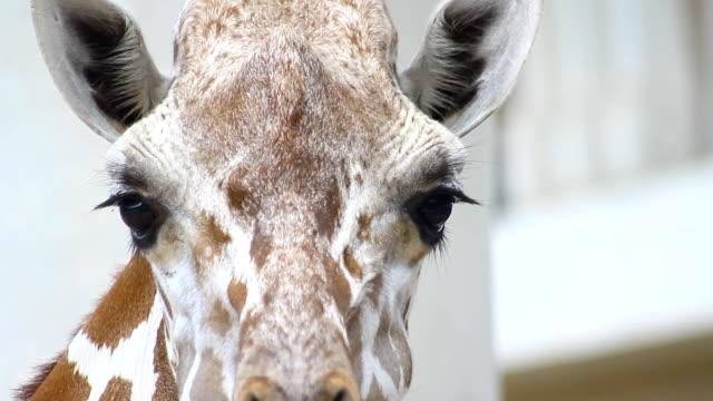 giraffe portrait head and eye looking camera - herbivorous stock videos & royalty-free footage