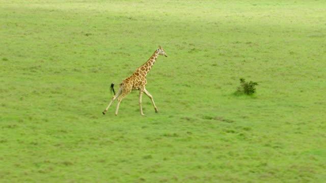 WS AERIAL TS Giraffe running in green landscape / Kenya