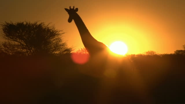 giraffe shilouette in sunset - giraffe stock videos and b-roll footage