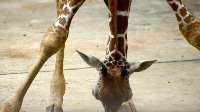 giraffe sit down hand move head and long neck to eat grass on ground - animal neck stock videos & royalty-free footage