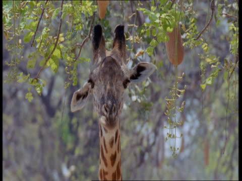 vídeos de stock, filmes e b-roll de a giraffe sniffs at a sausage tree and then walks away. - parte do corpo animal