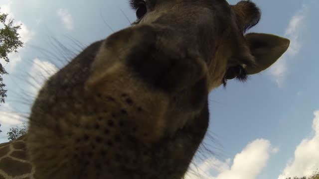 Giraffe sniffs at camera.