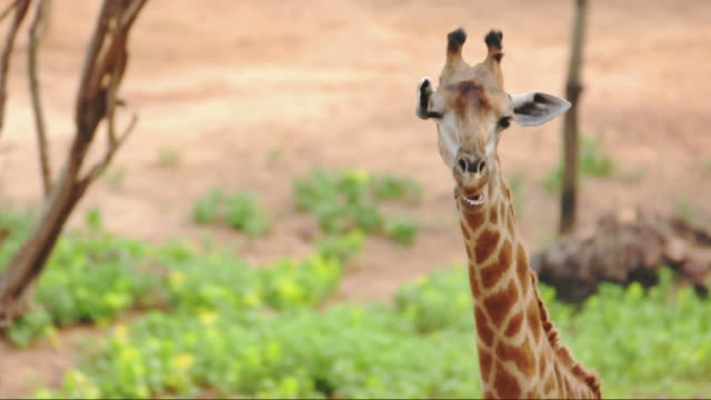 stockvideo's en b-roll-footage met giraffe standing and post in chewing - dierentuin