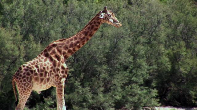vídeos y material grabado en eventos de stock de ms, giraffe standing near tree, france - cuello de animal