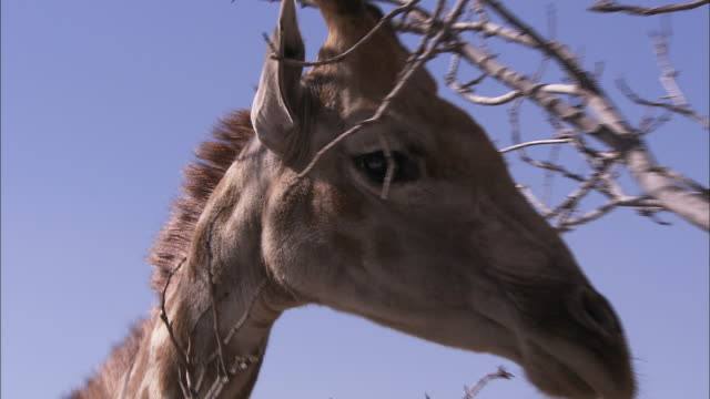 vidéos et rushes de a giraffe stands behind twigs and shakes its head. - shaking