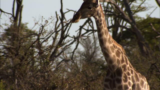 a giraffe stands in a thicket of scrubby trees. available in hd. - pälsteckning bildbanksvideor och videomaterial från bakom kulisserna
