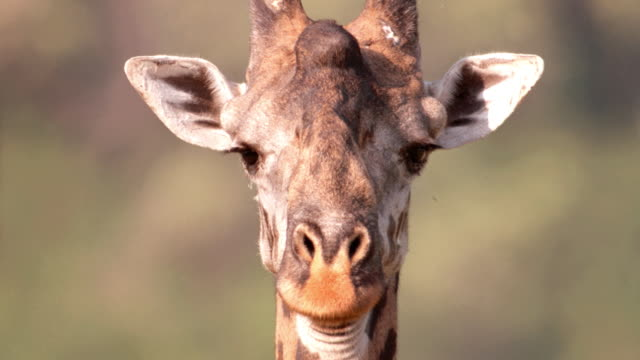 a giraffe stands motionless, staring straight ahead on the african savanna. - giraffe stock videos & royalty-free footage