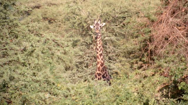 vídeos y material grabado en eventos de stock de a giraffe stands motionless, wiggling its ears, then walks into the trees of the african savanna. - cuello de animal
