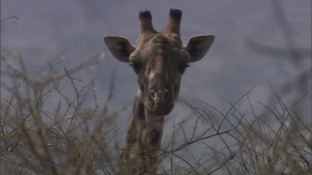 a giraffe stares while standing behind bushes. - giraffe stock videos & royalty-free footage