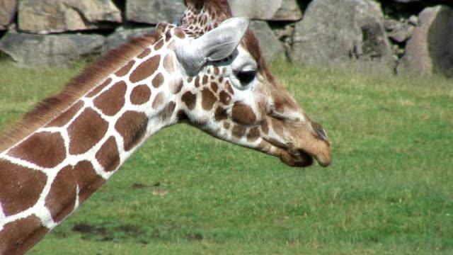 vídeos y material grabado en eventos de stock de jirafa. - cuello de animal