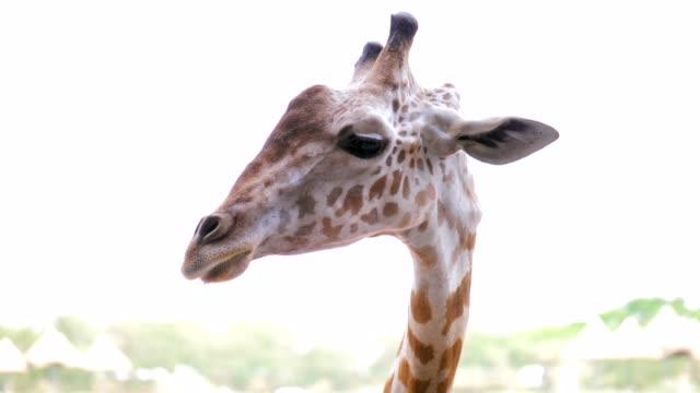 vídeos y material grabado en eventos de stock de jirafa - vista de frente