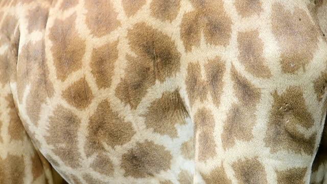 giraffe - tierhaut stock-videos und b-roll-filmmaterial