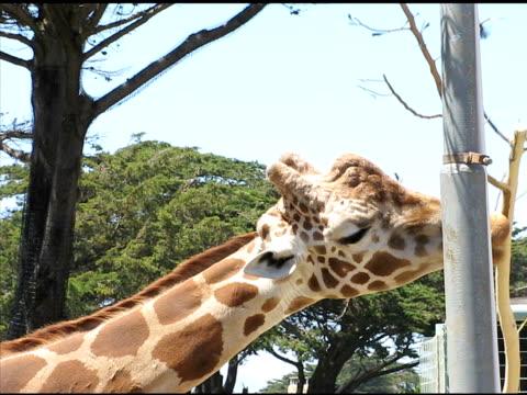 giraffe (ntsc - pflanzenfressend stock-videos und b-roll-filmmaterial