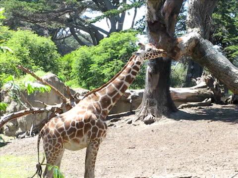giraffe - herbivorous stock videos & royalty-free footage