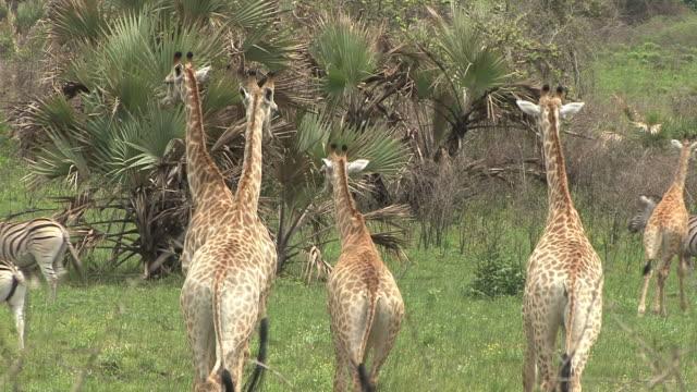giraffe - baumgruppe stock-videos und b-roll-filmmaterial
