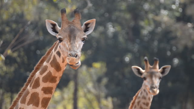 giraffe - two animals stock videos and b-roll footage