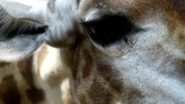 vídeos y material grabado en eventos de stock de jirafa - cuello de animal