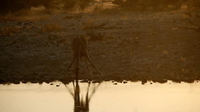 giraffe - abenddämmerung stock videos & royalty-free footage