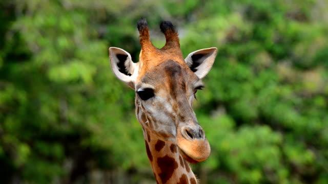 vídeos de stock, filmes e b-roll de girafa - girafa