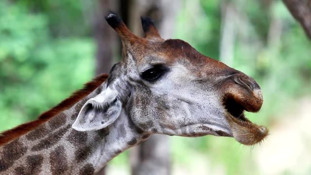 stockvideo's en b-roll-footage met giraffe - lengte
