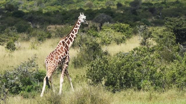 giraffe walking alone at the savannah in sosian wildlife, kenya - medium shot - herbivorous stock videos & royalty-free footage