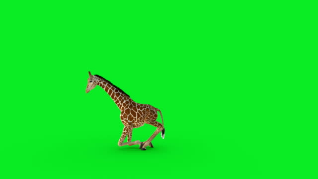A 3D giraffe walking and sitting at on green screen.