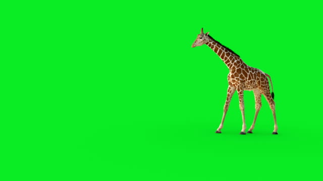 A 3D giraffe walking on green screen.