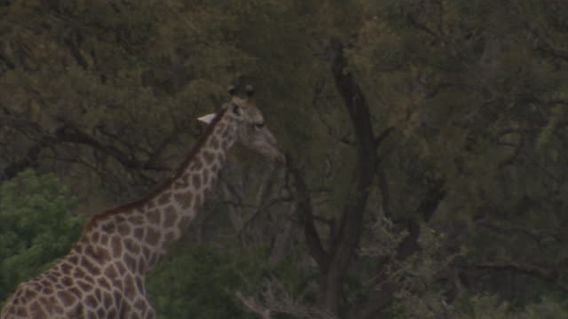 giraffe walking on the okavango delta, trees all around, walking out of frame. wildlife, long neck, tall, tallest mammal, ruminant - southern africa stock videos & royalty-free footage