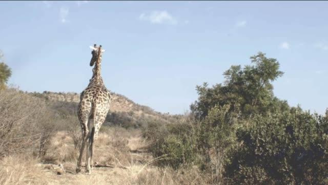 vidéos et rushes de giraffe walking /pilanesberg national park /south africa - herbivore