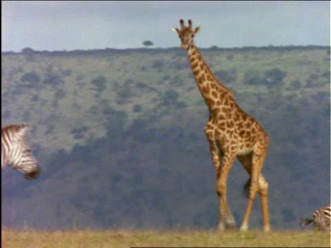 giraffe walking thru herd of zebras - pflanzenfressend stock-videos und b-roll-filmmaterial