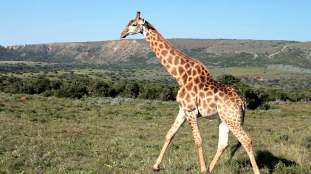 vídeos de stock, filmes e b-roll de girafa caminhando - girafa