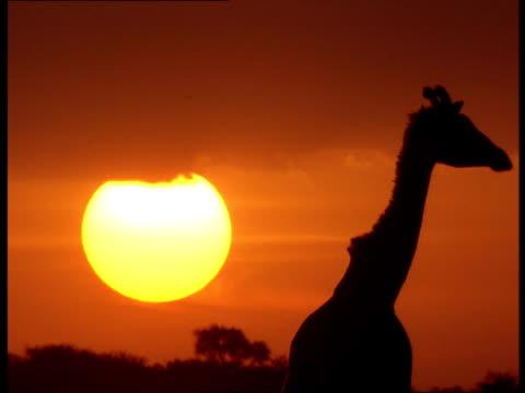 a giraffe walks across the savannah at golden-hour. - golden hour stock videos & royalty-free footage