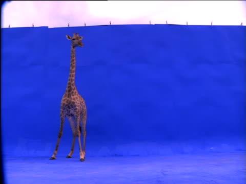 giraffe walks around against blue background - chroma key video stock e b–roll