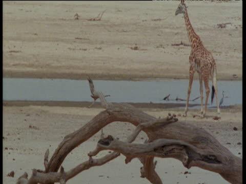 giraffe walks away from camera towards pool - zimbabwe stock videos and b-roll footage