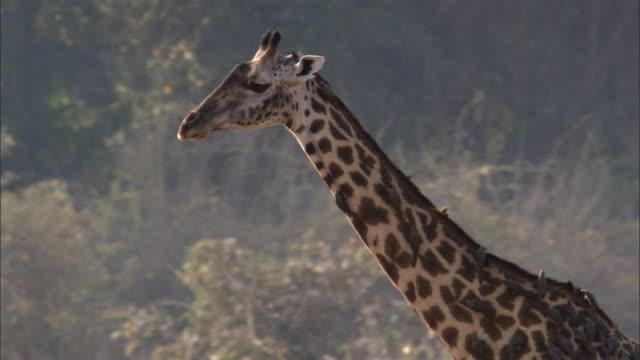 vídeos y material grabado en eventos de stock de giraffe (giraffa camelopardalis) walks on riverbank, luangwa, zambia - simbiosis