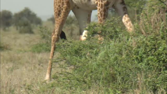 a giraffe walks on the meadow in serengeti national park, tanzania - giraffe stock videos & royalty-free footage