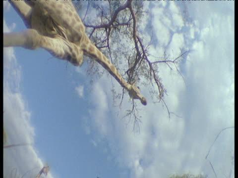 vidéos et rushes de giraffe walks over camera on savanna, africa - éthéré