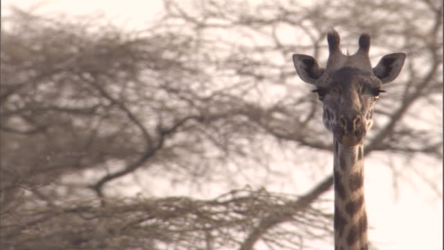 vídeos y material grabado en eventos de stock de a giraffe walks through a thicket. available in hd. - cuello de animal