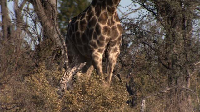 a giraffe walks through scrub trees. available in hd. - pälsteckning bildbanksvideor och videomaterial från bakom kulisserna