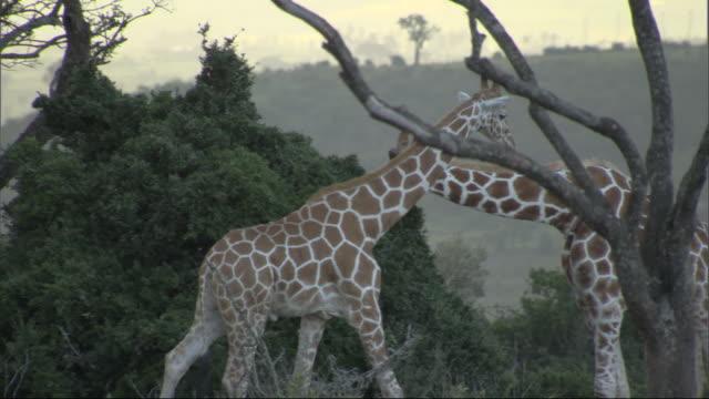 stockvideo's en b-roll-footage met giraffe (giraffa camelopardalis) walks to join older giraffe browsing on bush, kenya - bukken
