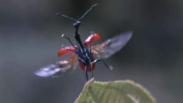 slomo giraffe weevil takes off from leaf, madagascar - 昆虫点の映像素材/bロール