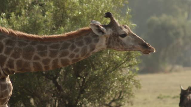 ms td giraffe, zebra and wildebeest / johannasburg, south africa - horned stock videos & royalty-free footage