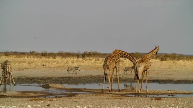 ws giraffe; zebras (equus quagga) and birds by waterhole / namibia - wasserloch stock-videos und b-roll-filmmaterial
