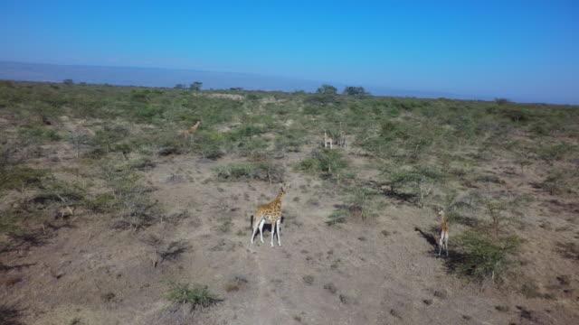 Giraffes aerial
